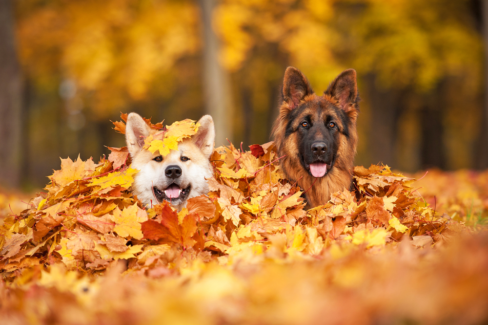 dogs-fall-leaves-autumn